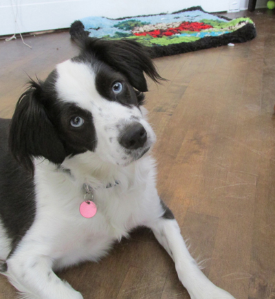 cherche border collie a adopter